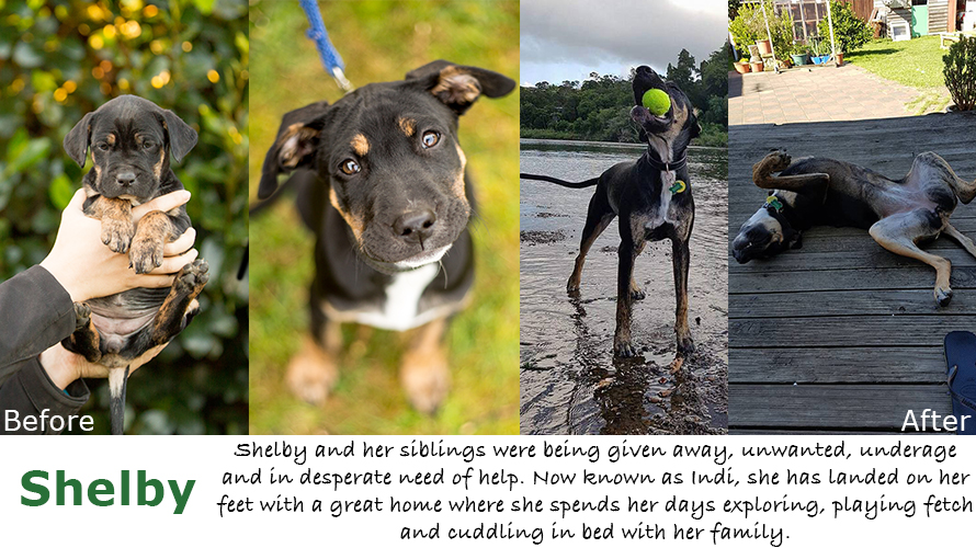 Shelby the Huntaway X Rescue puppy in New Zealand