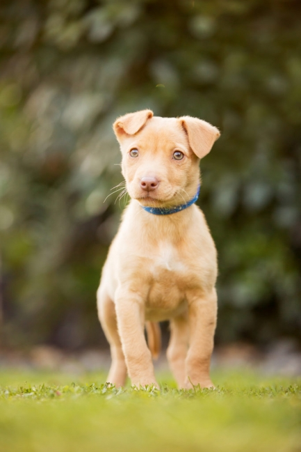 Tan Mixed Breed Rescue Puppy in New Zealand